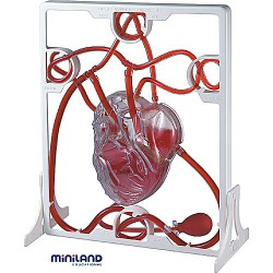 Set Inima si Sistemul circulator Miniland